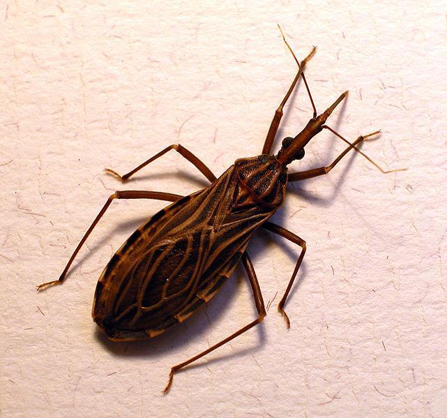 chagas-bug