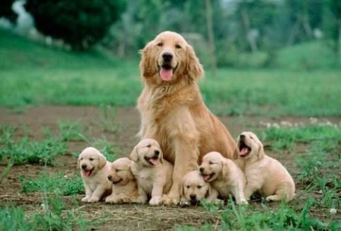 golden-mom-with-pups