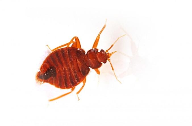 bigstock-bedbug-22039379-1150x753