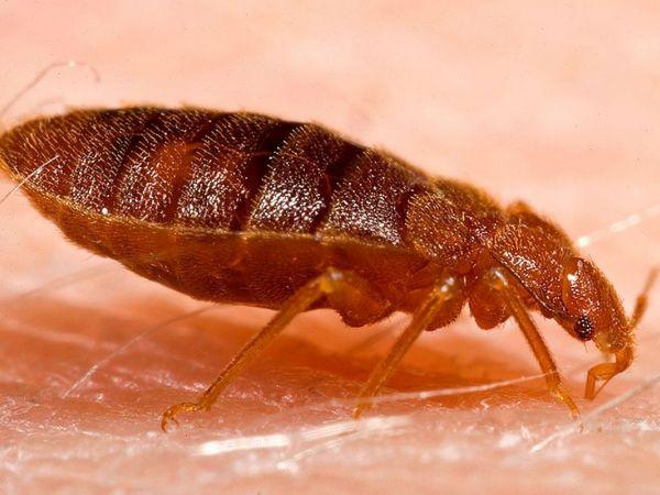 1280px-adult_bed_bug_cimex_lectularius-1484068599-2077