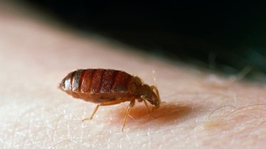 bed-bugs_1466992125460_3451047_ver1-0