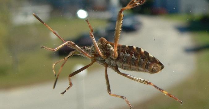 kissing-bugs-deadly.jpg