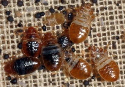 bedbugs-5486223