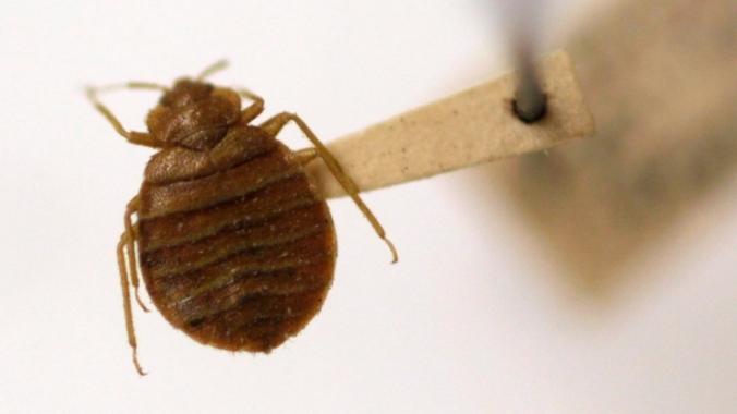 bed-bugs.jpg