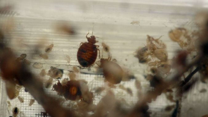 bed-bugs (1)
