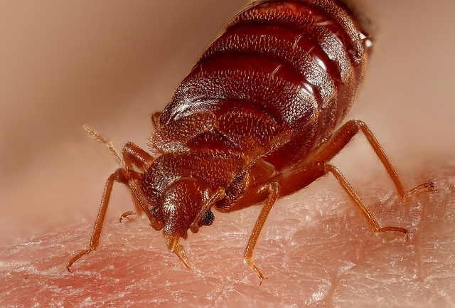 bed-bugs_articleimage