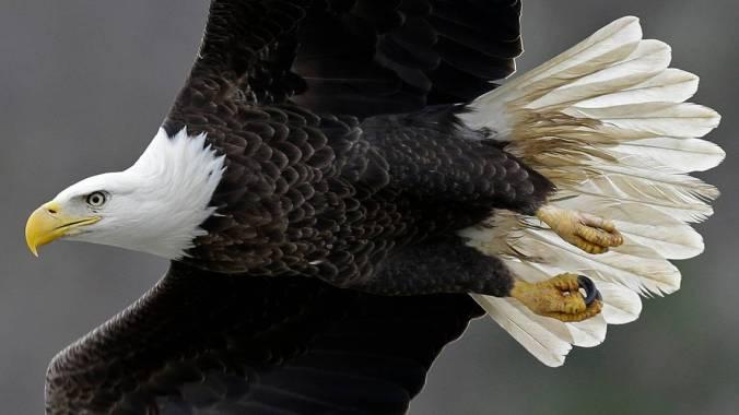 MD_Bald_Eagle