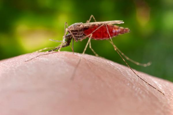 mosquito_westnile.jpg